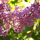 Lilac Aglow by Stephen Thomas