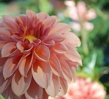 Subtle peach colored dahlia by Lozzar Flowers & Art