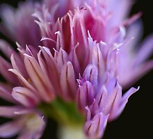 Chives flower by CanDuCreations