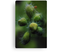 About to blossom (from wild flowers collection) Canvas Print