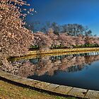Cherry Blossom Reflections by balexander101