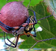Garden Spider Protecting Her Eggs by kittyrodehorst