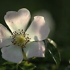 Dog Rose by PeterRichardson