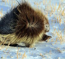 Porcupine in Ground Blizzard by Donna Ridgway