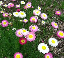 paper daisies by heleny