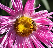 Bee on Pink Flower by Susan Brown