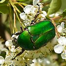 Green Beetle 1 by David Clarke