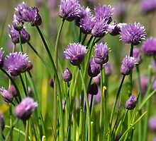 Chives by Pauline Rumsey