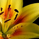 Lilies of the Yard 2 by Lolabud
