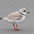 Endangered Piping Plover by lloydsjourney