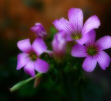 Oxalis Flower by Keith G. Hawley