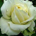 Cream Rose II by Erica Long