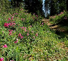 Sweet Pea Trail by Patty Boyte