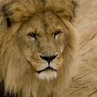 Lion by lurch