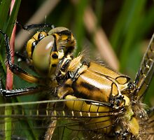 Black tailed skimmer by Jon Bradbury