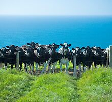 Welsh Cliff Top Cattle by lightmonger