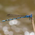 Argia inculta by Jim Johnson