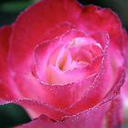 Pink Rose by Sarah Fridd
