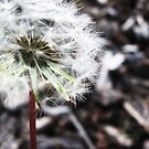Dandelion by MRPhotography