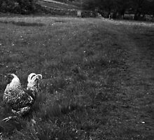 chicken arkengarthdale by Jean Bashford
