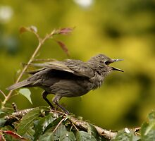 Baby Starling by AnnDixon