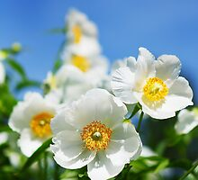 White peonies and blue sky by Pål Espen Olsen