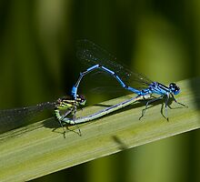 Mating Damselflies by Neil Bygrave (NATURELENS)