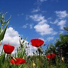 red poppies II by Jimmy Joe