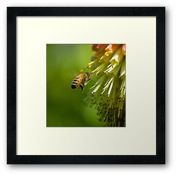 Bee in Flight  by Nigel Bangert