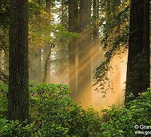 Redwood Trees in Forest, California by Intern2