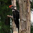 Pileated Woodpecker by Ann  Van Breemen