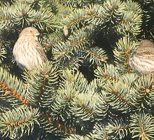 Pine House Finches II by LadyAvalon