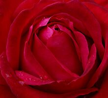 Red Rose by Scott Pounsett