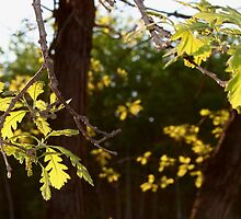 Oak Leaves in the Evening Sun by Stephen Thomas