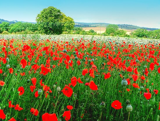 Field Of Poppies HDR by Colin J Williams Photography