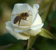 Bee and Iceberg Rose by seanseen