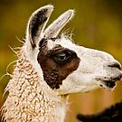 Llama Portrait by Steven David Johnson