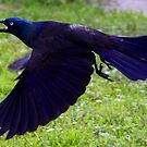 *FLIGHT OF THE GRACKLE* by Van Coleman