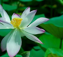 Lotus-National Symbol of India by Mukesh Srivastava