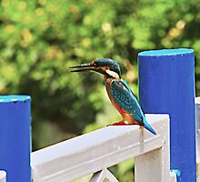 Common Kingfisher by Prasad