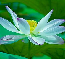 Lotus-Symbol of Purity and Spiritualism by Mukesh Srivastava
