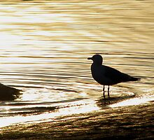 Gull at sunset by loralea