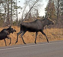 Cow Moose and Calf by Dyle Warren