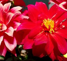 Gorgeous dahlias by daffodil