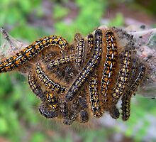 Caterpillars by AnnDixon