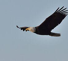 On A Mission - Bald Eagle by Barbara Burkhardt