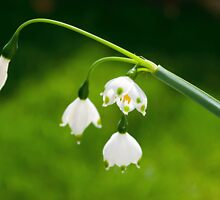 Snowdrop by Bradley Old