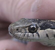 Mr Garter Snake by Bellavista2
