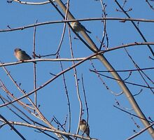 Three Sky Finches  by LadyAvalon