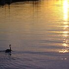 Swan on Arun 02 by RichardJohns